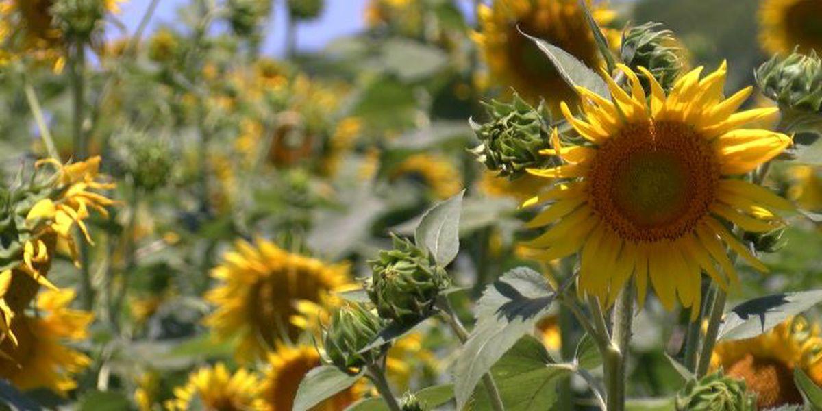 Gilliam's 21st Annual Sunflower Trail & Festival begins Saturday