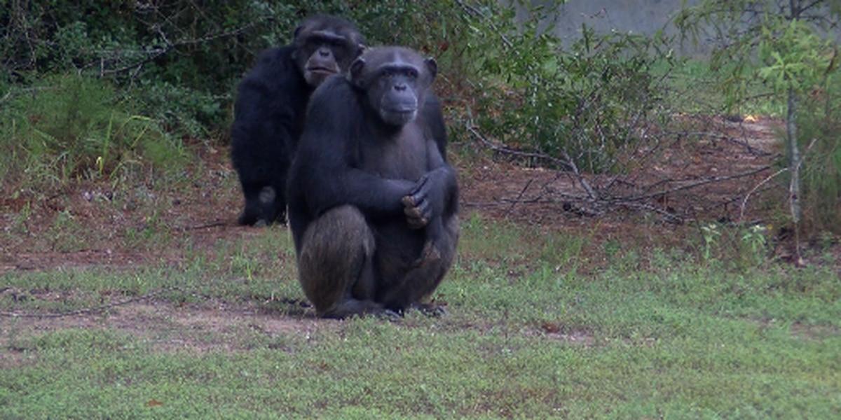 Chimp Haven brings its sanctuary into living rooms