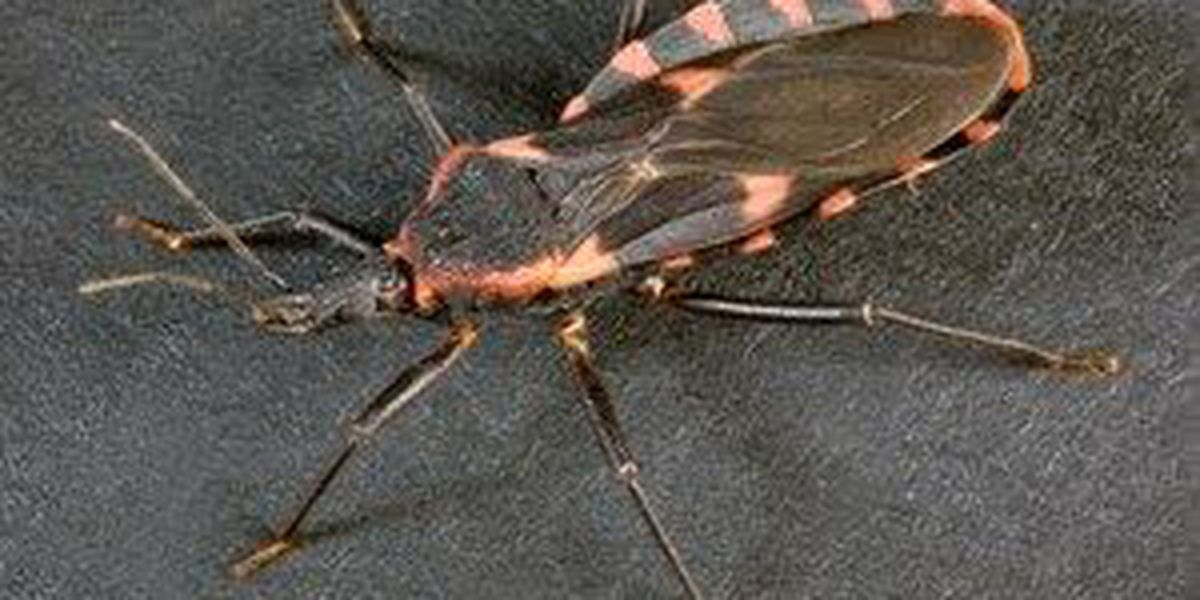 Veterinarian warns of the potentially deadly 'kissing bug'