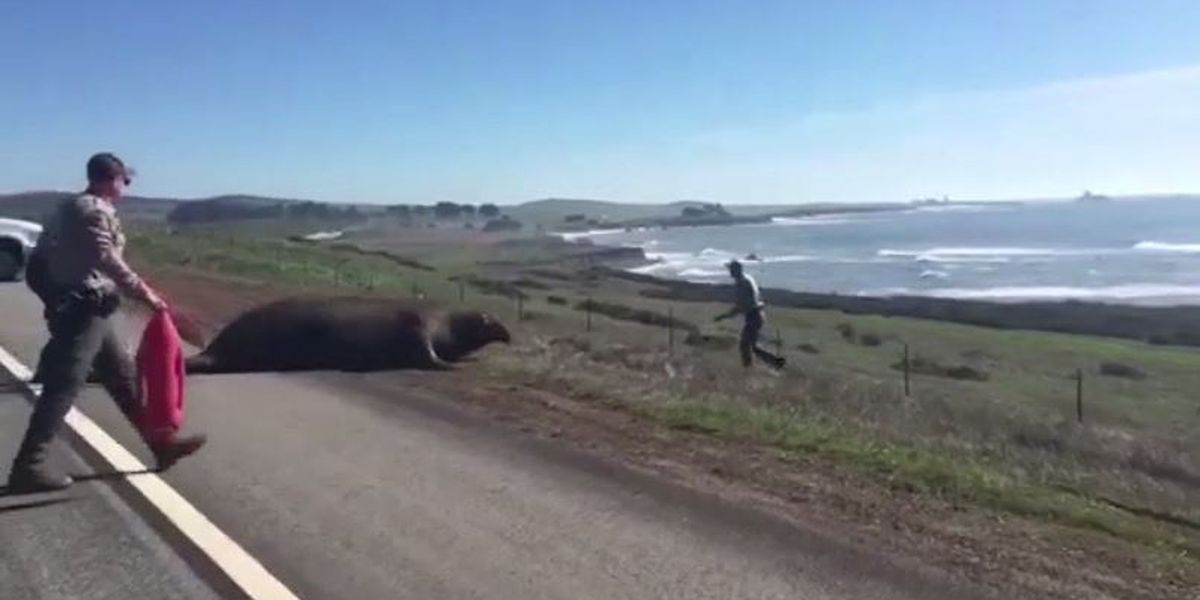 VIDEO: Lost elephant seal finds his way home with help from sheriff's deputies