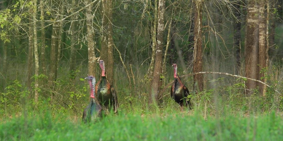 WebXtra: 'Super stocking' program aims to boost turkey numbers in ETX