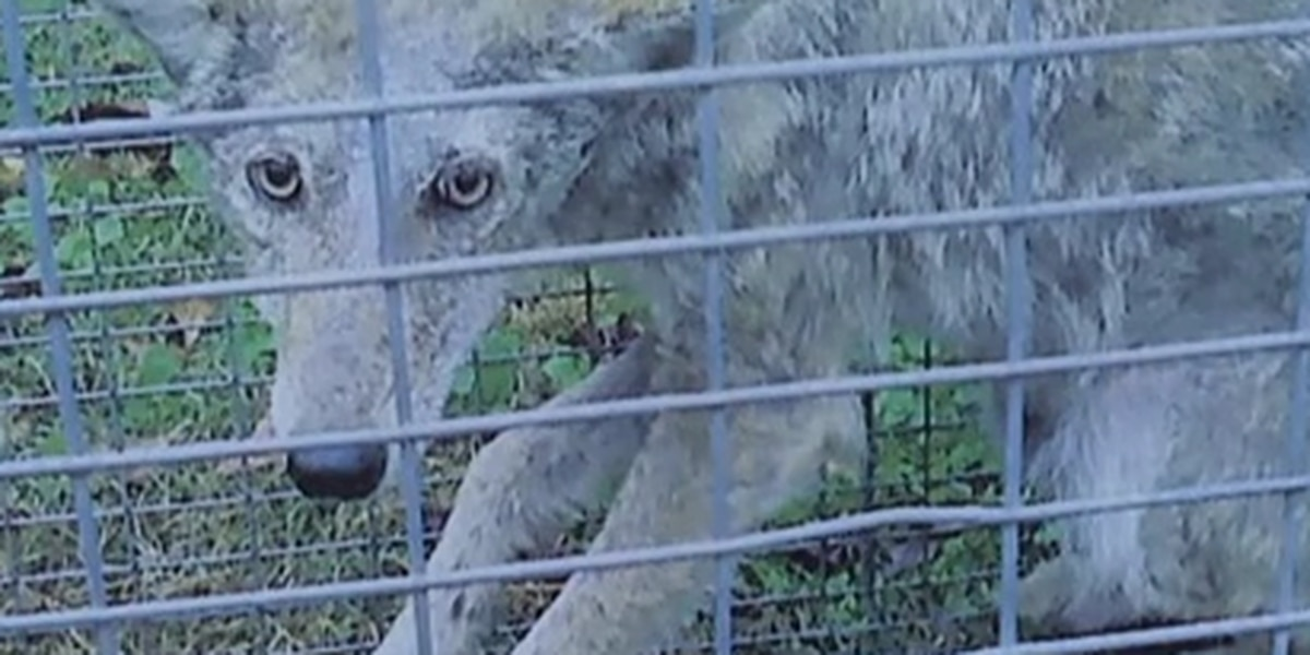 Coyotes sighted attacking pets in East Texas county