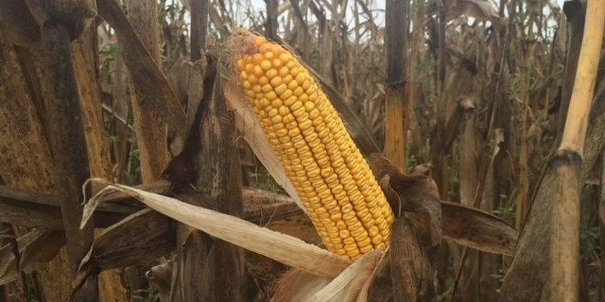 Recent rainfall in NWLA delays corn crop harvesting