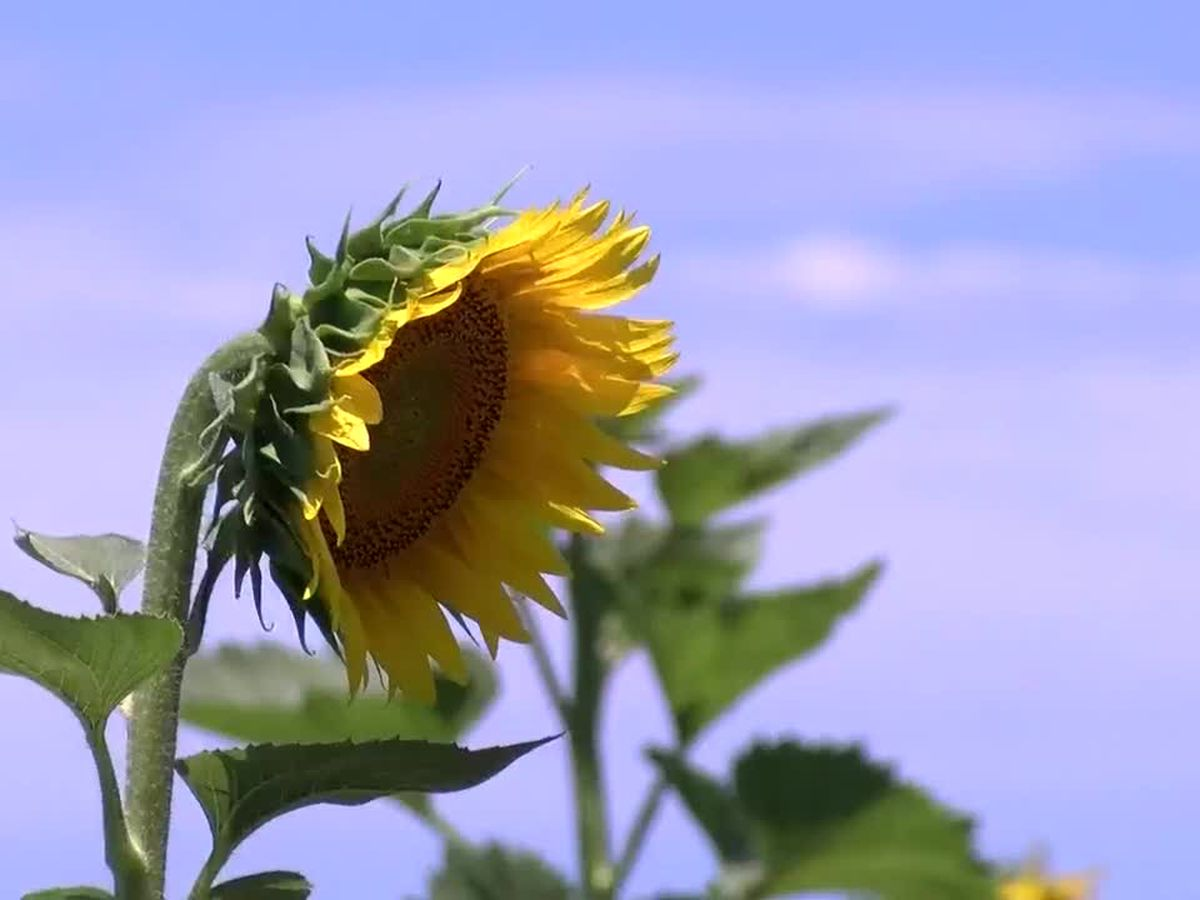 Sunflower Trail & Festival takes place today, June 15