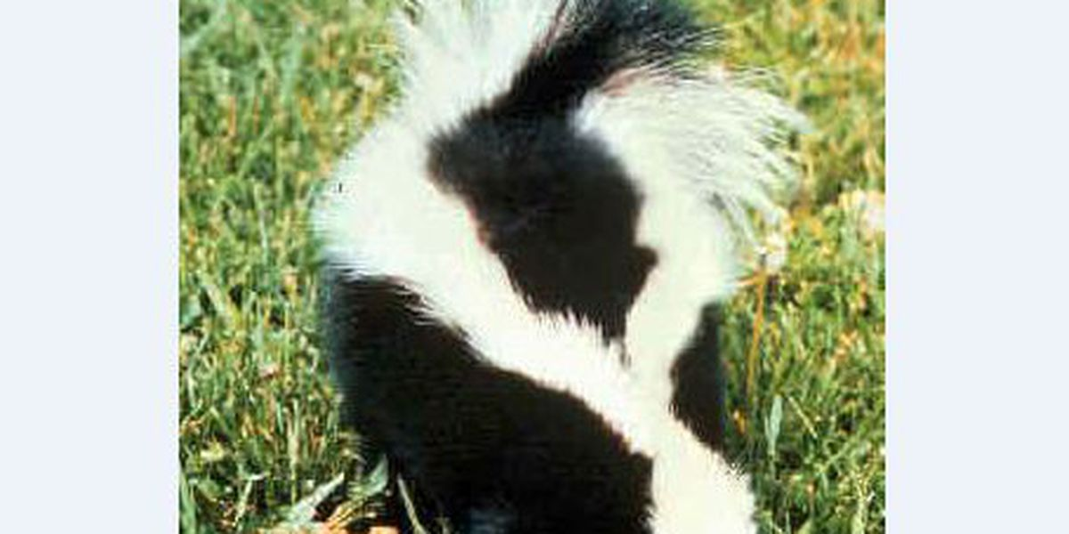 Skunk tests positive for rabies in DeSoto Parish