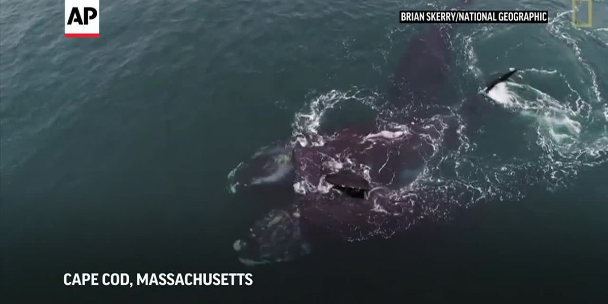 Whales appear to hug in Cape Cod Bay