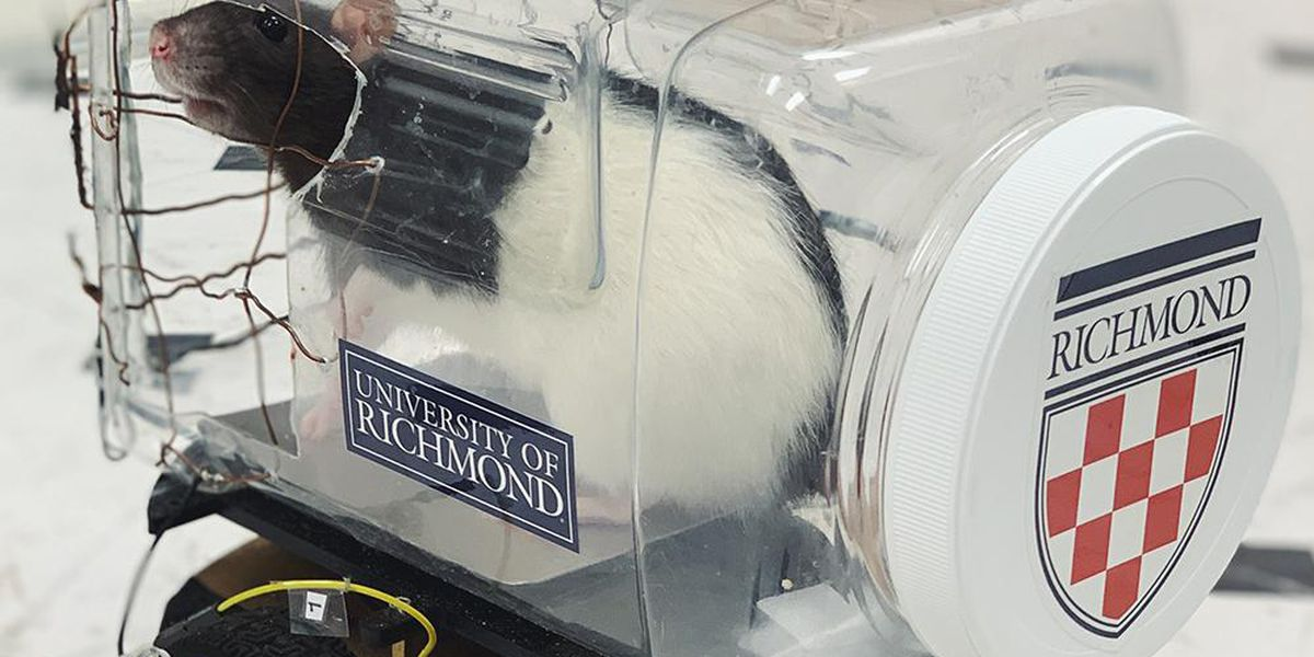 Rats learn how to drive cars at University of Richmond