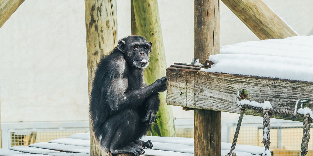 Chimpanzees living at sanctuary outside Shreveport enjoy rare snow day
