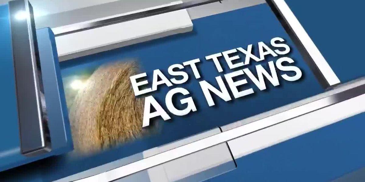 East Texas Ag News: How to spot bermuda grass stem maggot damage