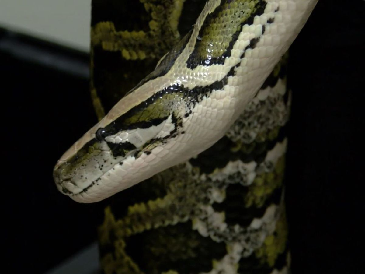 Blanket pulled out of 12-foot python's mouth