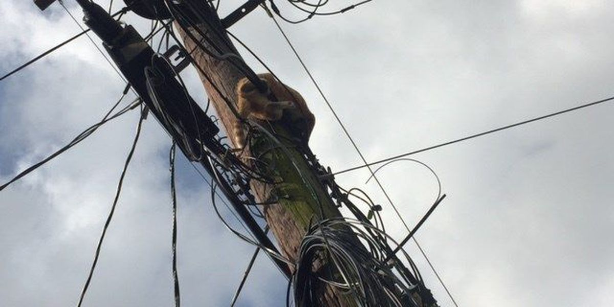 Cat rescued after four days from utility pole