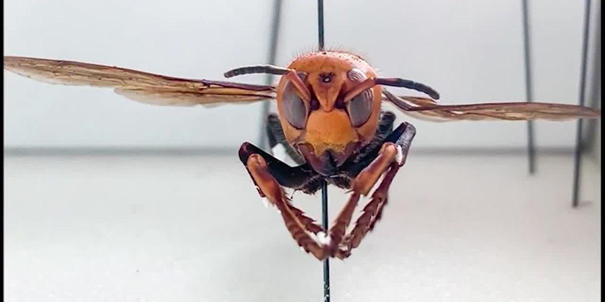 Video shows praying mantis eating 'murder hornet'