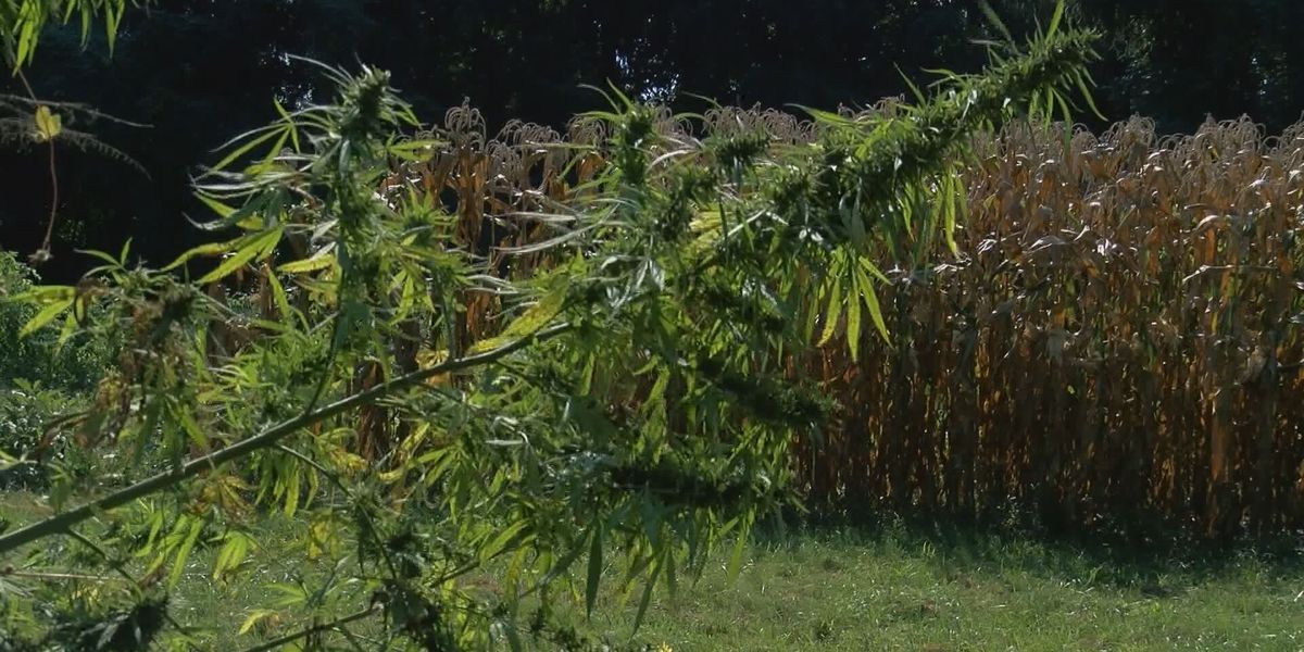 Farmers to begin growing hemp in La. in spring, but must jump through some hoops first