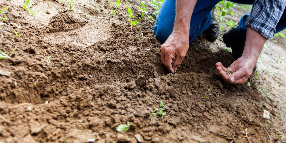 East Texas Ag News: Benefits of green manure