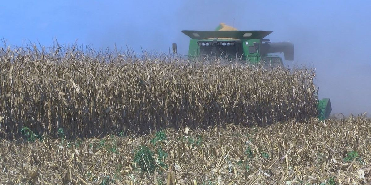 Drought impacts corn crop