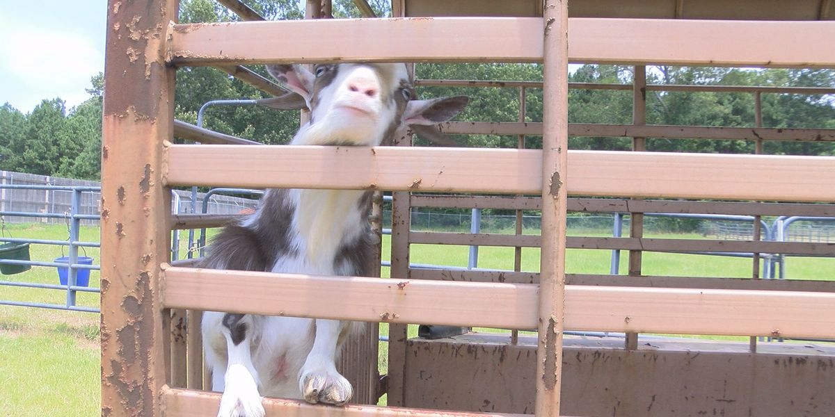 Loose livestock: Caddo and Bossier Parish deputies advise owners to watch their animals
