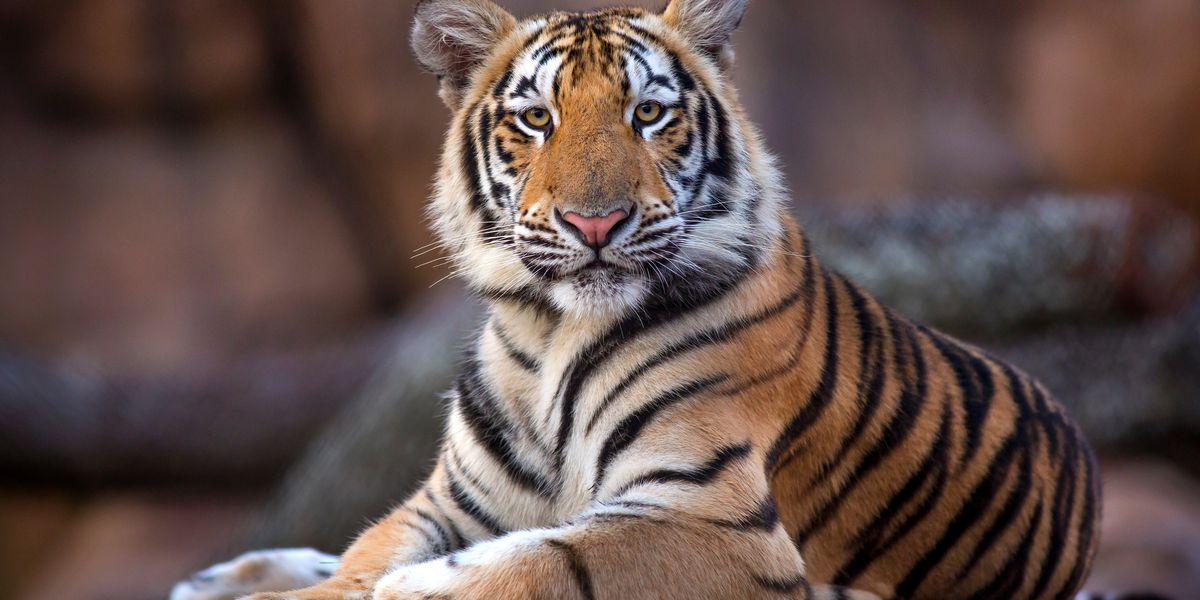 LSU officials: Caretakers taking extra steps to prevent Mike The Tiger from contracting COVID-19