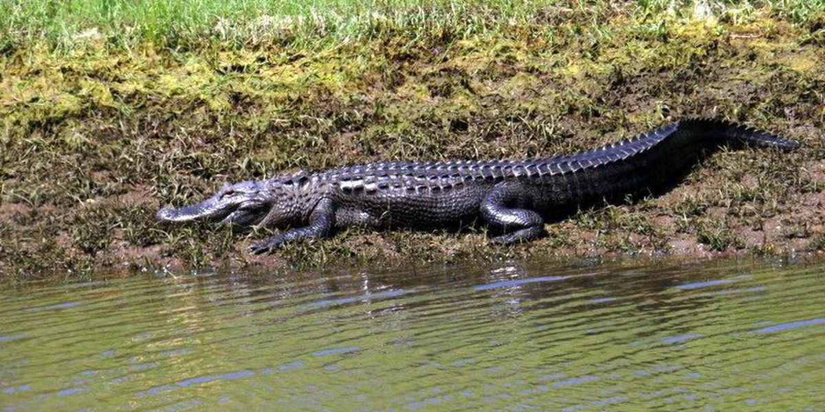 East Texas resident warns others after alligator spotted
