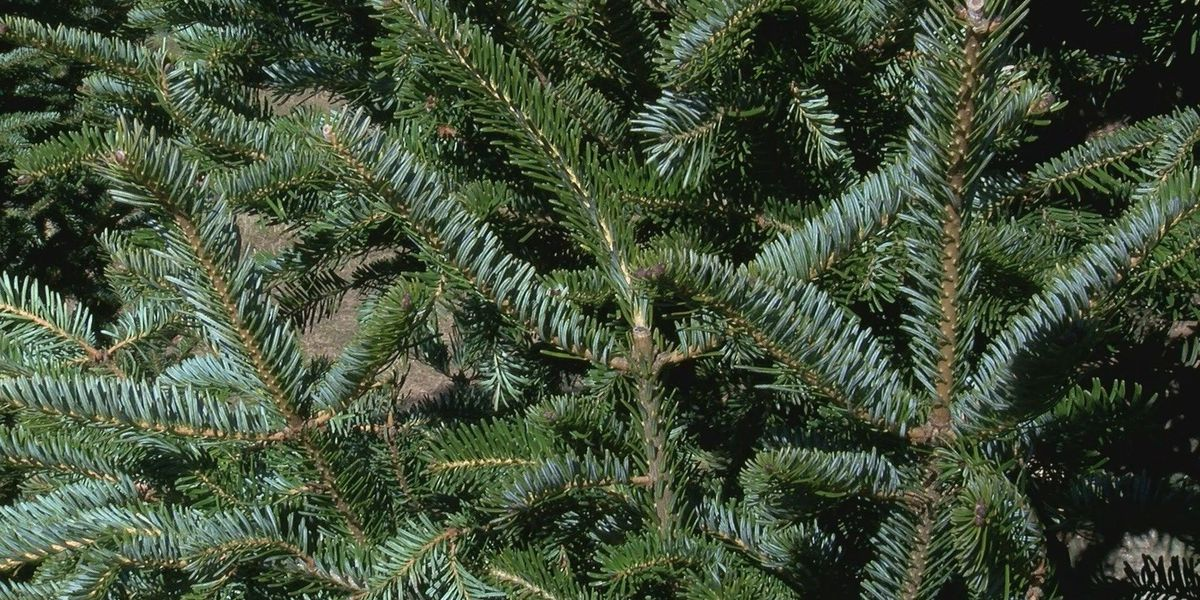 State officials inspect imported Christmas trees