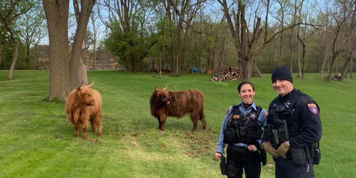 Cops capture Scottish cows roaming the streets north of Chicago