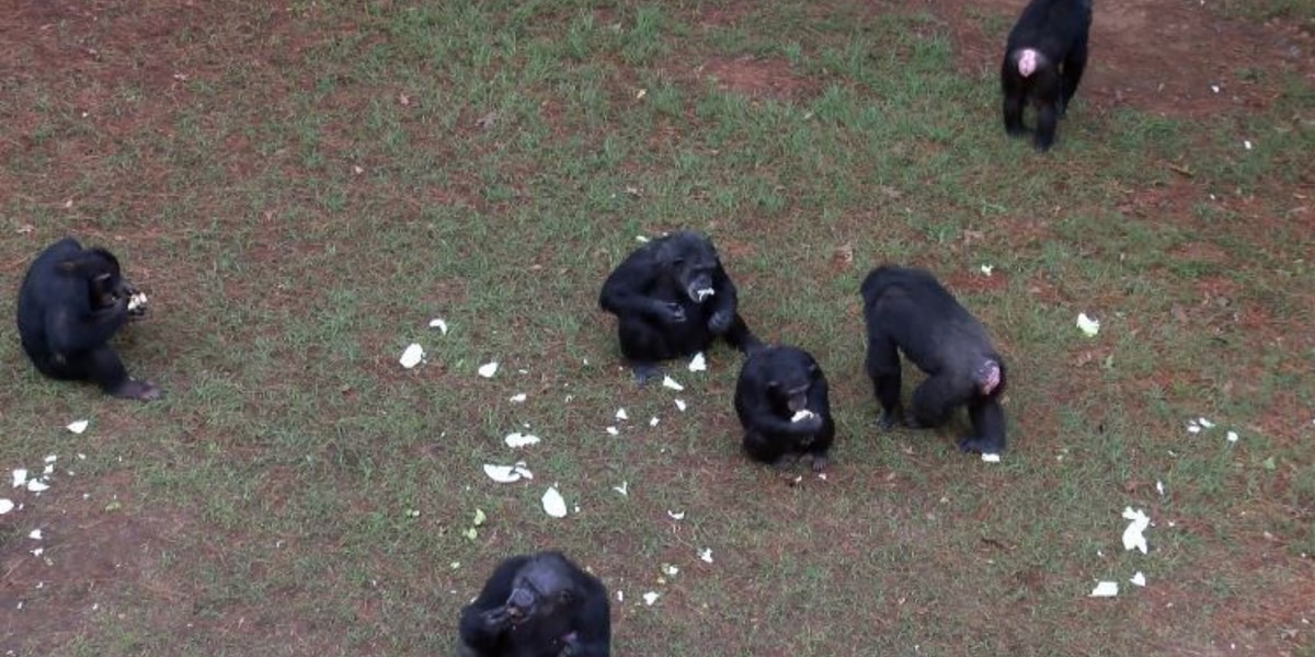 Chimpanzee Discovery Day set for September 15