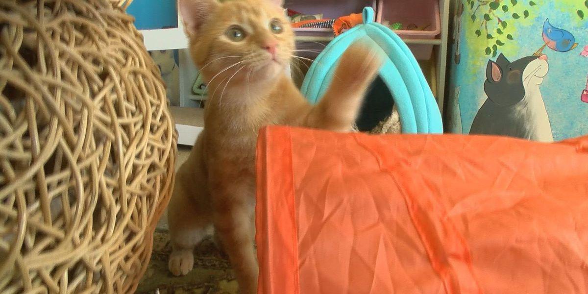 Cat Doctor now offering unique treatment for common disease