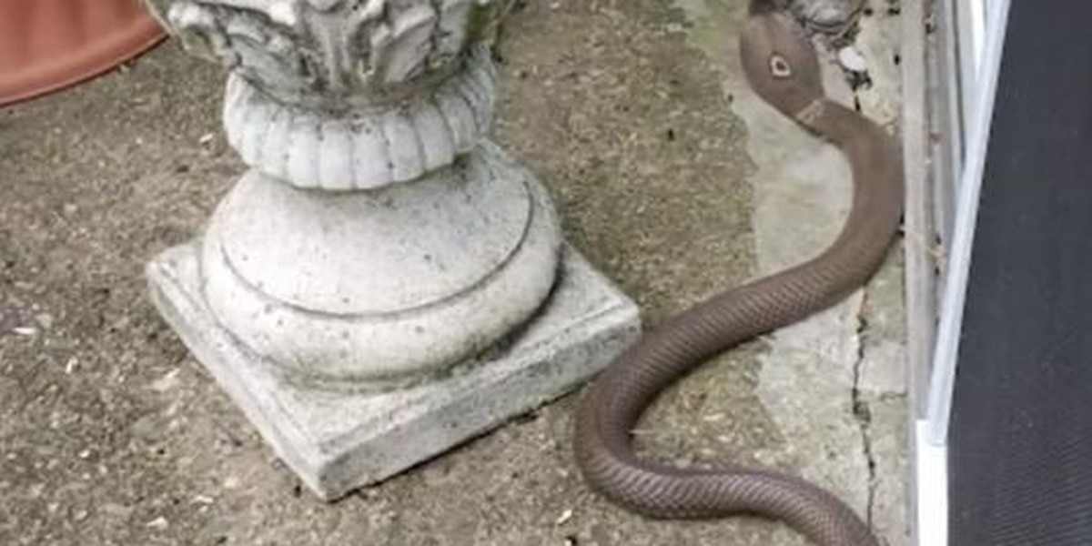 Great-grandma kills cobra slithering in her garden