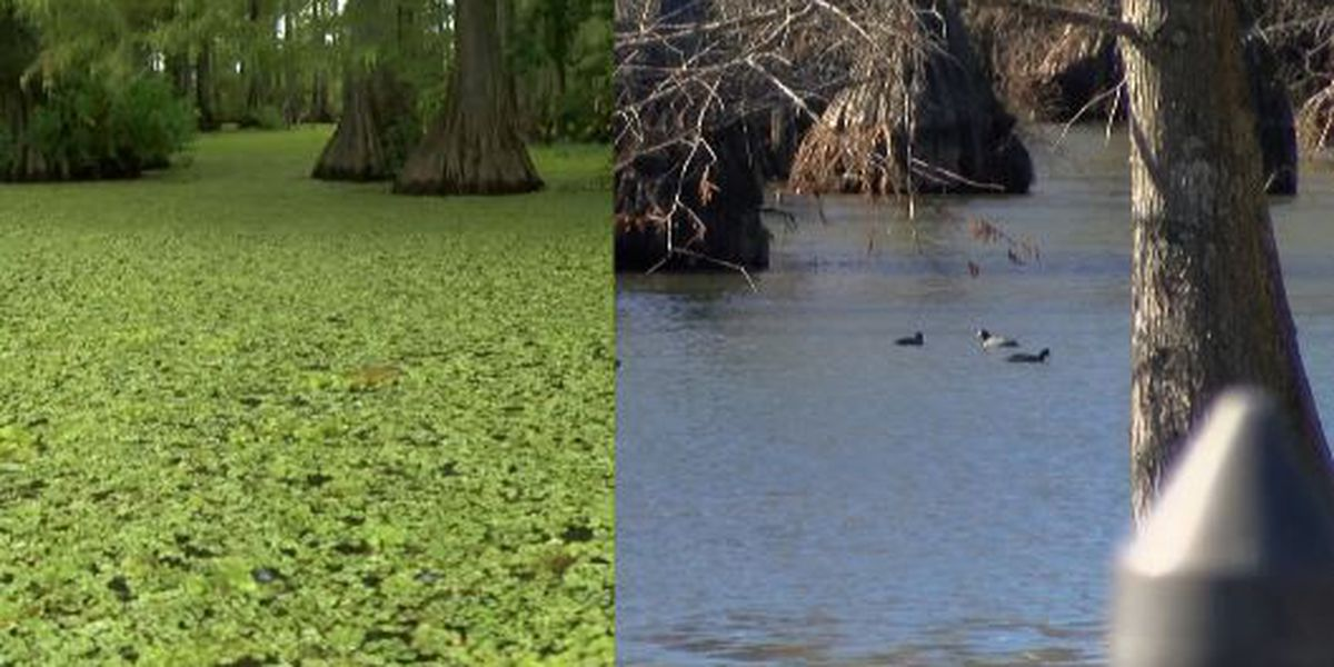 Record lows helping get rid of Giant salvinia in NWLA lakes