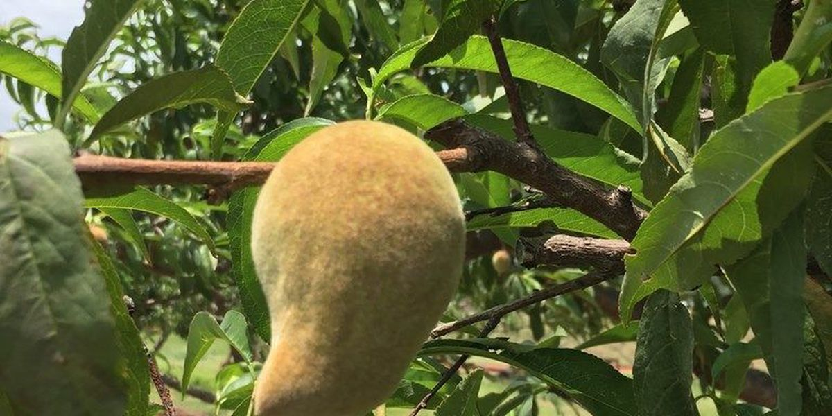 Concerns about warm winter hurting peach crop come to fruition