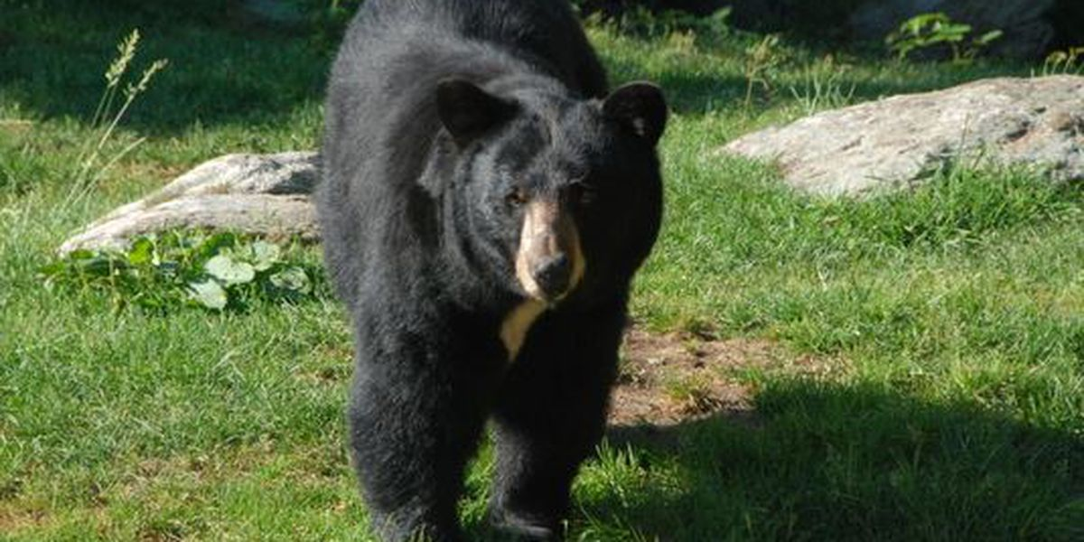 Fearless dog chases bear from neighbor's yard