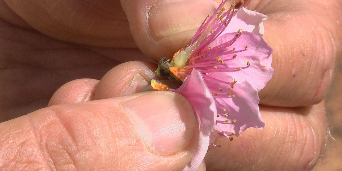 Louisiana peach farmers loved the cold winter