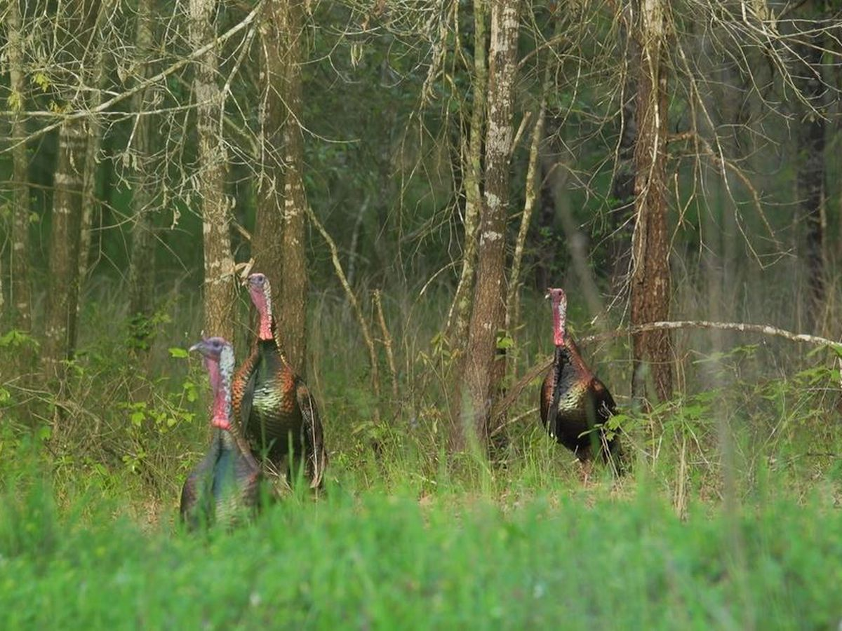 'Super stocking' program aims to boost turkey numbers in ETX