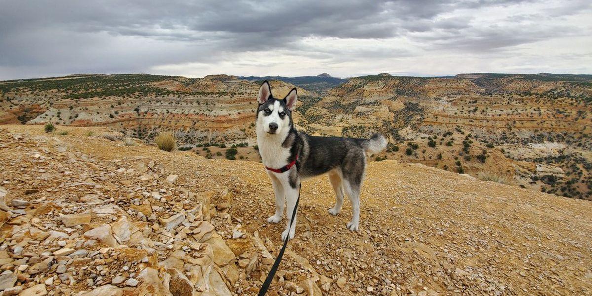 Siberian Husky stolen outside area Walmart found safe